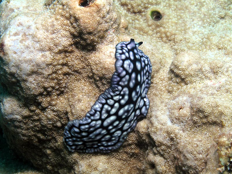 A FLATWORM MIMIC