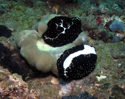 Adult Egg Cowries feeding
